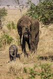 Family of elephants royalty free stock photography