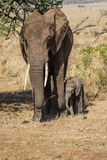 Family of elephants. Photo taken during the safari in Serengeti National park. Tanzania Royalty Free Stock Photography
