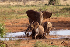 Family of elephants playing in the red mud Stock Photo