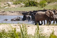 Family of elephants playing in the river stock image