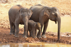 Family of Elephants at the River Royalty Free Stock Photography