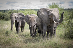 Family of elephants in the savanna Royalty Free Stock Photography