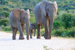 Family of elephants from South Africa Royalty Free Stock Image