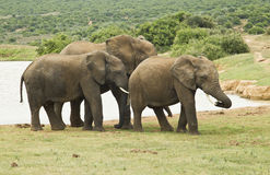 Family of elephants standing at a water hole Stock Image
