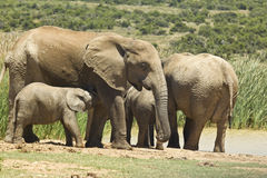 Family of elephants standing at a water hole Royalty Free Stock Photo