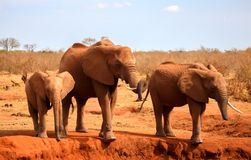 Family of elephants standing on the waterhole in the savannah Stock Photography