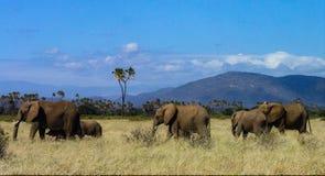 Family of elephants strolling through Samburu grasslands