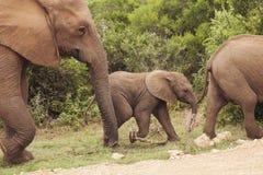 Family of Elephants Royalty Free Stock Photo