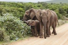 Family of Elephants Stock Image