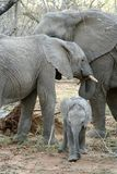Family of Elephants with their baby elephant. In the Savanna – South Africa stock images