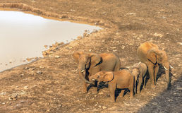 Family elephants Stock Image