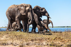 Family of elephants with two calves Royalty Free Stock Photography
