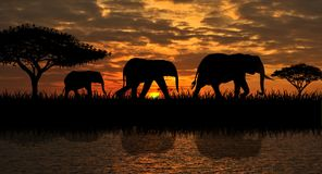 A family of elephants on a walk royalty free stock images