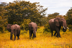 Family of elephants walks and grazes in the South African bushes Stock Photos
