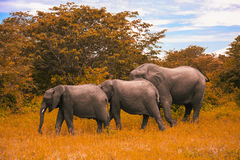 Family of elephants walks and grazes in the South African bushes Royalty Free Stock Image