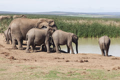 Family of Elephants by the Water Royalty Free Stock Photography