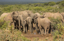 Family of elephants at water hole Stock Photos