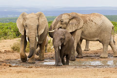 Family of elephants at a waterhole Stock Image