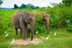 Family of elephants with young one stock photography