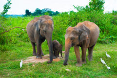 Family of elephants with young one Stock Image