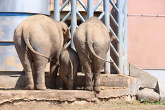 Family of elephants in zoological garden Royalty Free Stock Photography