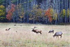 Family of Elk in a Field Royalty Free Stock Photo