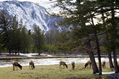 Family Of Elk Grazing Along The River. Family herd of elk grazes on green grass alone the river shore in Yellowstone National Park Wyoming USA Stock Image