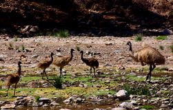 Emus in Parachilna Gorge Royalty Free Stock Images