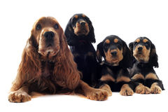 Family english cocker. Portrait of a family of cocker spaniel in a studio royalty free stock image