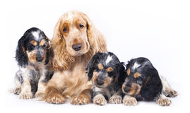 Family English Cocker Spaniel dogs. In front of a white background royalty free stock images