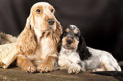 Family English Cocker Spaniel dogs Stock Photo