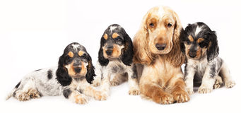 Family English Cocker Spaniel dogs Stock Photos
