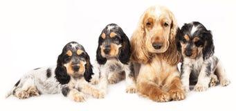 Family English Cocker Spaniel dogs stock photos