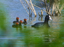 Family of eurasian coots Stock Images