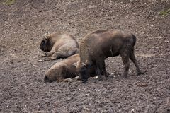 European bison herd resting in forest mud Stock Photo