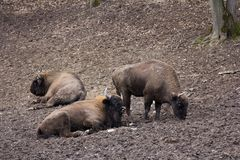 European bison resting in forest mud Royalty Free Stock Images
