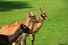 Family fallow deers Royalty Free Stock Images