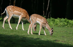 Family of Fallow Deers in forest Stock Photo
