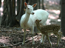 Family of Fallow Deers in forest. Family of Fallow Deers (white and brown) in forest on natural background stock images