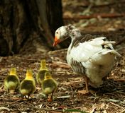 Family farm. Mama goose with her children Stock Photo