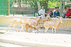 Family feeding desert goats at the egyptian zoo Royalty Free Stock Photo