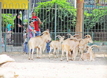 Family feeding desert goats at the egyptian zoo Royalty Free Stock Image