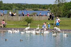 Family feeding swans. Royalty Free Stock Images