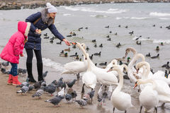 Family feeding white swans on sea coast in winter Royalty Free Stock Photography