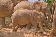 Family of five african elephant drinking royalty free stock photos