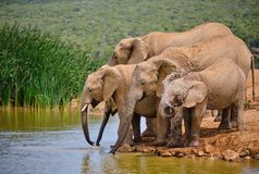Family of five african elephant drinking royalty free stock photo