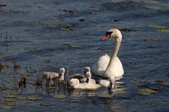 Mute Swan swimming with five Cygnets stock image