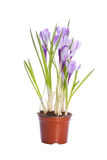 Family of flowering crocuses. The family of flowering crocuses in a small brown pot isolated on white Stock Photo