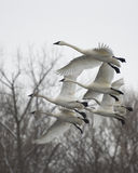 Family of Flying Swans Royalty Free Stock Image