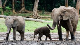 Family of forest Elephants. Royalty Free Stock Images